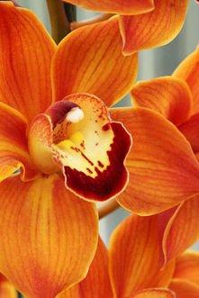pomaranczowy storczyk