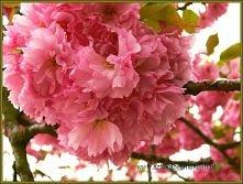 różowe cudo -więcej kwiatów...