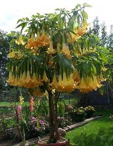 Datura   Szybko rosnąca roślina, wieloletnia 120 - 150cm wysokości. Kwiaty zw...