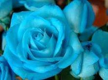 niebieska róża...