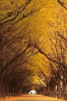 Ginkgo Tree Tunnel, Tokio, Japonia