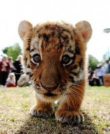 Tygrysek :33
