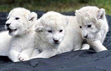 lwy albinosy