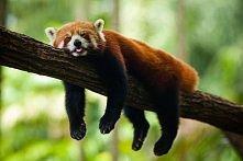 Cudowna Panda czerwona <3 <3 <3