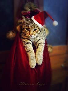 Even cats love Christmas :)