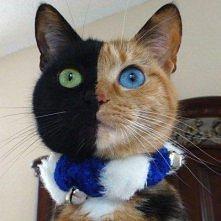 dwukolorowa kotica