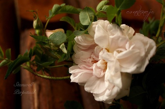 """""""Stanwell Perpetual"""" - przepieknie pachnaca roza"""