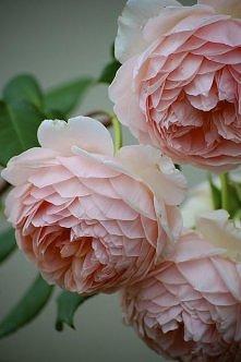 róża 'William Morris'