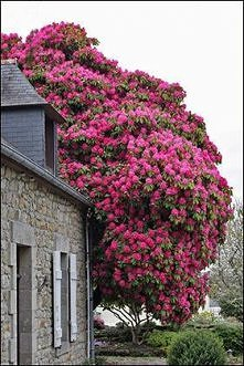 Hundred-year-old Rhododendr...