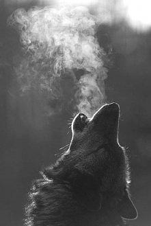 Amazing animal-wolf