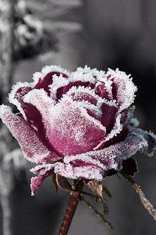 Zamarznięta róża świetnie wygląda w takiej postaci.