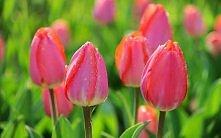 Tulipany - moje ukochane wi...