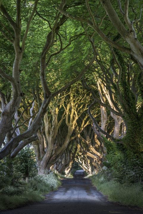 The Dark Hedges - niezwykła aleja w Irlandii Północnej