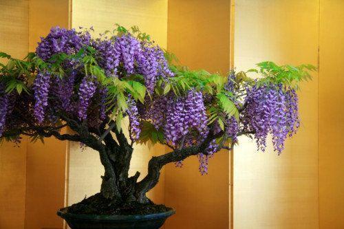 *** wisteria ***