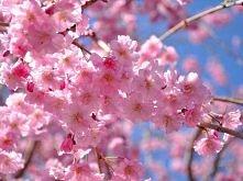 *** kwitnąca wiśnia ***