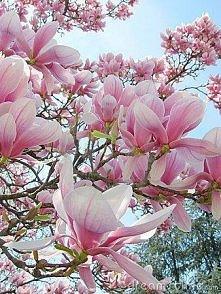 *** magnolie ***
