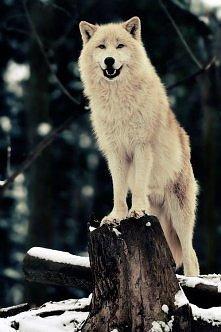 Piękny wilczek <3