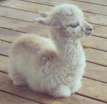 mała lama :)