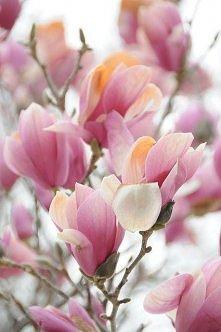 *** pięknie już nam kwitną!...