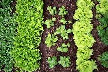 Korzystne sąsiedztwo;     Kapusta dobrze rośnie w towarzystwie cebuli, szałwii, kopru czy rumianku. mięta, tymianek i rozmaryn odstraszają bielinka kapustnika (pomidory też, ale...