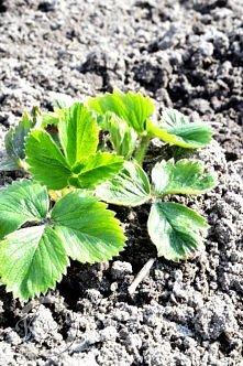 Jak sadzić truskawki. Po kl...