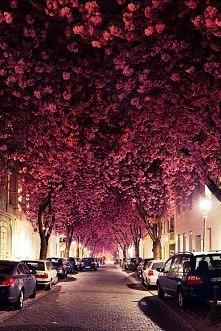 Cherry Blossoms, Bonn, Niemcy