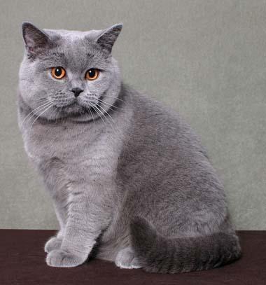 Kot Angielski Na Zwierzęta Zszywkapl
