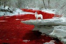 Wilczek nad krwistą rzeczką