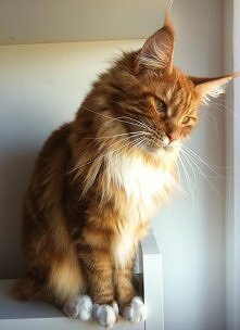 maine coon :)
