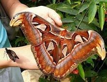 Pawica atlas (Attacus atlas) – nocny motyl uznawany za największą ćmę świata, występuje w Azji Południowo-Wschodniej, w południowych Chinach i Indonezji.Skrzydła osiągają powier...