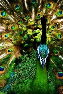"""""""lucky peacock"""""""