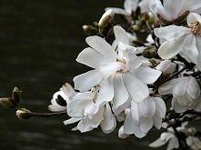 Magnolia ale ujęcie