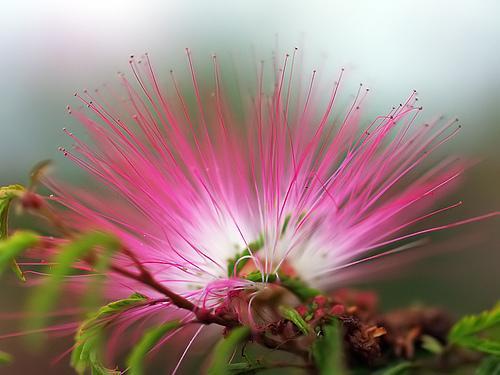 """wychodowałam z pestki - bardzo łatwo poszło :).Albizia (albicja jedwabista) zwana także inaczej drzewem jedwabnym jest niskim, wiecznie zielonym drzewkiem pochodzącym ze wschodniej Azji. Jest ceniona na całym świecie za jej niekwestionowane walory ozdobne! Jej liście, przypominające liście mimozy wyglądają jak zwiewne wachlarze. Kwiaty albizii są również podobne do kwiatów mimozy lecz są znacznie większe i bardziej pierzaste - przypominają pompony zbudowane z różowo-białych niteczek o długości do 5cm a dodatkowym atutem tej rośliny jest to, że te śliczne kwiaty są wonne. W kulturach wschodu wierzy się, iż kwiaty te mają moc """"uzdrawiania złamanych serc"""" oraz wywoływania uczuć zadowolenia i szczęścia. W zachodnim ziołolecznictwie roślina ta zyskała sobie sławę szybkiego i skutecznego środka antydepresyjnego, uspokajającego. Stosuje się ją również w walce z bezsennością. Roślina jest bardzo łatwa do wyhodowania z nasion. Nasiona są nieprawdopodobnie odporne na upływ czasu a co za tym idzie ich kiełkowalność jest zadziwiająco duża. Nasiona są w stanie wykiełkować nawet po 50 latach przebywania na wolnym powietrzu. Albicja jedwabista doskonale znosi przycinanie a zatem jest idealna do prowadzenia jako Bonsai"""
