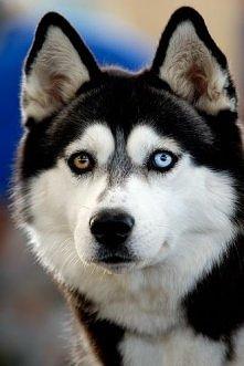 piękny pies i piękne jego oczy ^.^