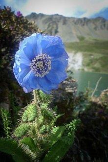 Niebieski mak himalajski-na...