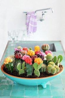 Dla miłośników kaktusów:)