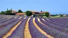 Francja, pola lawendowe