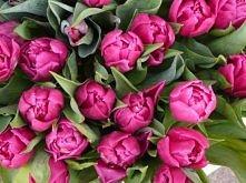 Łodygi tulipanów zawiązuje się przed układaniem mocno wilgotnym papierem gazetowym i wstawia na godzinę do wazonu. Potem przekłuwa się każdą łodygę cienką szpilką tuż pod kwiate...