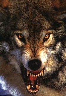 wolf *,*
