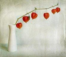 chinese lantern (physalis a...