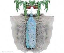 Wkop plastikową butelkę blisko pomidorów, żeby lepiej nawadniać system korzen...