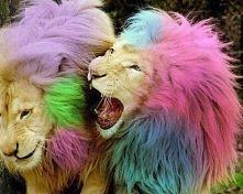 Kolorowe LWY :D
