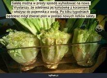 Jak hodować sałatę?