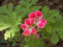 Geranium jest rośliną leczniczą. Anginowiec (anginka) należy do tej samej rodziny co pelargonie, nawet podobnie wygląda. Ma intensywny cytrynowo-różany zapach i pomaga w wielu d...