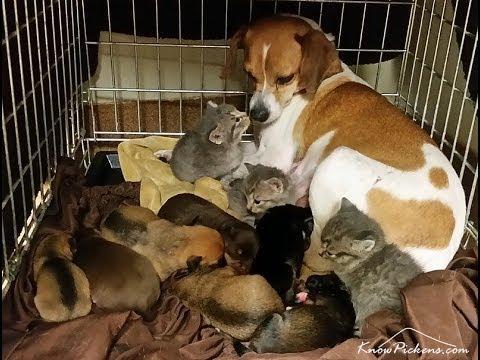 Mary, której urodziło się właśnie 7 szczeniaczków, zastąpiła matkę małym kociętom i zajęła się nimi jak własnymi dziećmi.