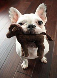 Wooff ...wooff   [francuski buldog]