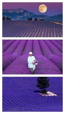 plantacje lawendy - bez photoshopa