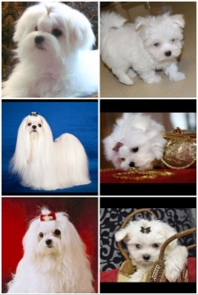 moja ukochana rasa psa - maltanczyk