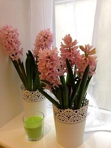 Różowe hiacynty ..cała kuchnia pachnie nadchodząca wiosna