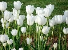 Białe tulipany